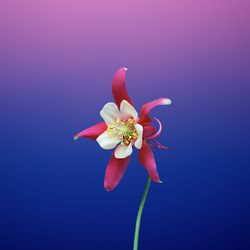 Wallpaper Flower AQUILEGIA