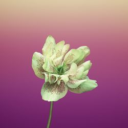 Wallpaper Flower HELLEBORUS