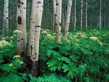 Aspens and Cow Parsnip
